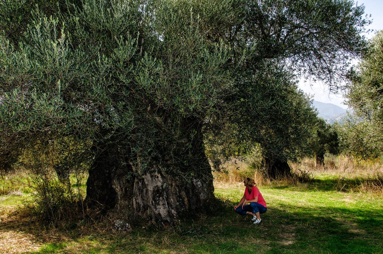 1000 year old olive tree in Xirokambi